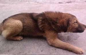 狗狗感染了伪狂犬病能治好吗?