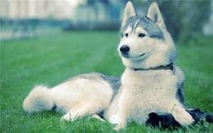 养宠知识,狗狗眼部常见的四种疾病!
