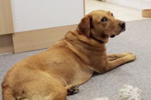 狗狗糖尿病的原因于防治措施?