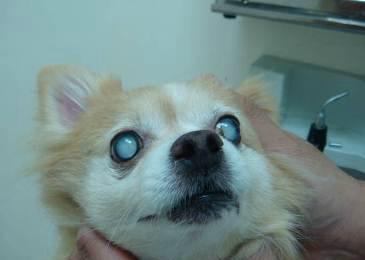 狗狗是否患上糖尿病?四大症状可确诊。