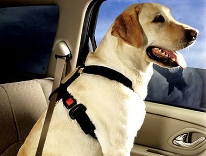 养宠知识:如何让狗狗不晕车?