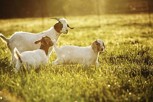 养宠知识:为什么给狗狗喝羊奶粉比较好?