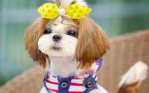 狗狗犬疱病毒感染的原因?