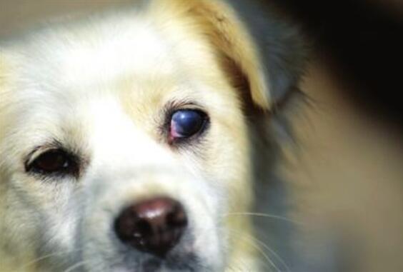 狗狗白内障的症状以及治疗方法!