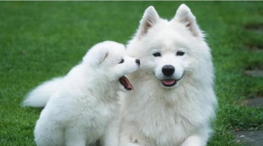 养宠知识:如何饲养美国爱斯基摩犬
