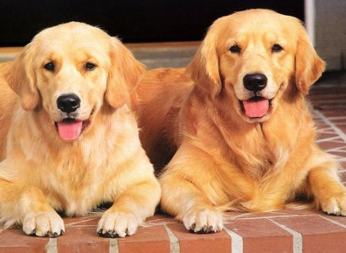 养宠知识:宠物狗换牙时如何正确护理?