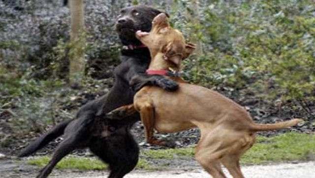 养宠知识:如何阻止狗狗和别的狗打架呢?