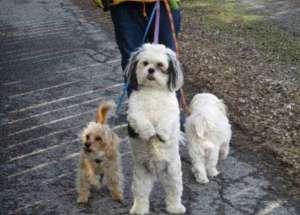 养宠知识:把小狗训练好的五个前提?