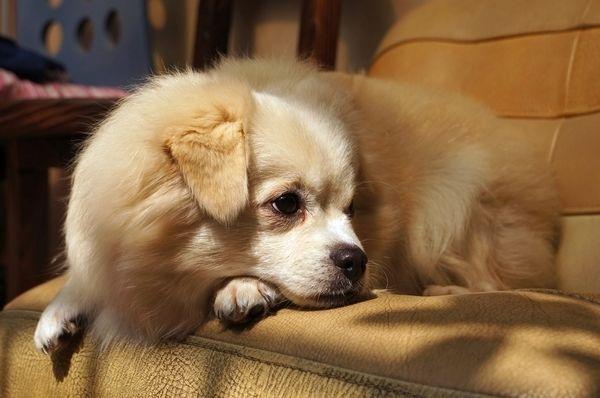 狗狗咽炎的防治措施?