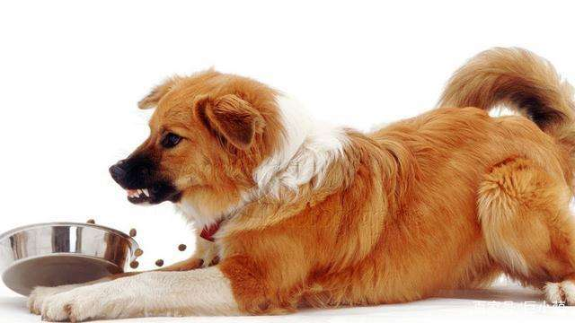 养宠知识:该如何纠正狗狗的护食行为呢?