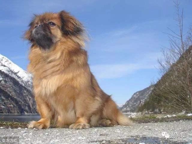 养宠知识:西藏猎犬的训练方法?