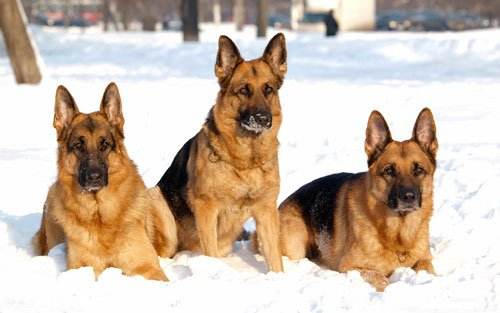 德国牧羊犬如何训练?