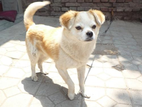 狗狗患白内障应该如何治疗?