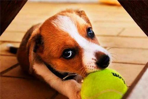 怎么训练狗狗捡东西的技巧?