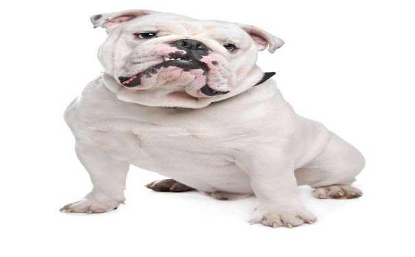 【宠物狗品种】造成狗狗放屁过多的原因