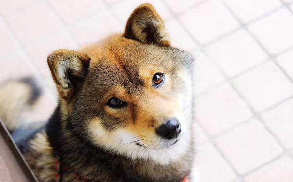 【宠物狗品种】保护沙发不被狗狗刨坏的四个秘诀
