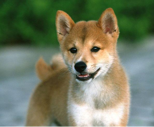 柴犬鼻子变色的原因?