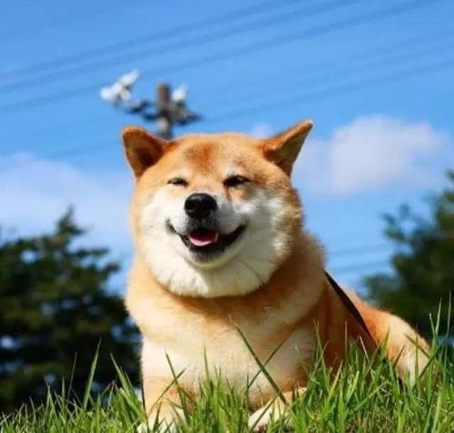 柴犬不纯正耳朵有什么表现?