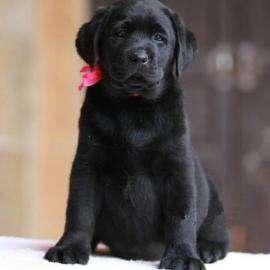 犬瘟疫有哪些症状