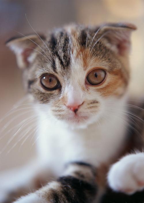 怎么训练重点色短毛猫不跳上床