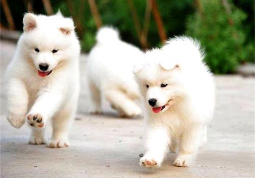 怎样训练萨摩耶犬?
