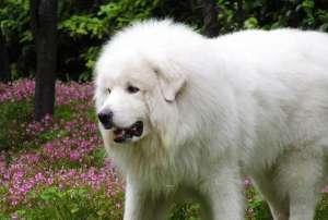 怎样训练大白熊犬?