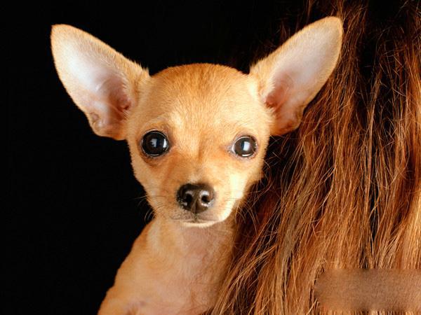 吉娃娃狗狗美容的正确步骤
