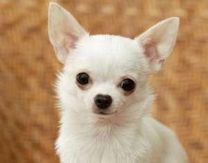 巴哥犬的美容技巧