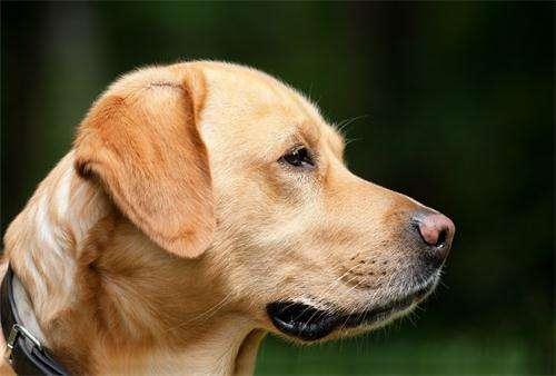 狗狗吃东西不咀嚼怎么办?