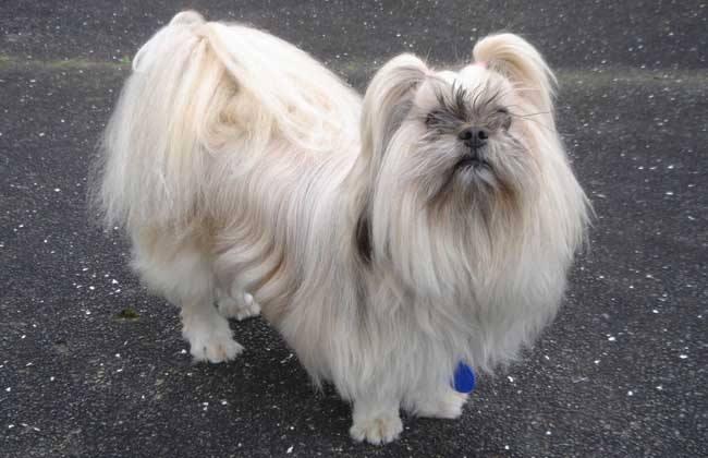 """""""驱魔圣犬""""拉萨犬犬种的标准"""