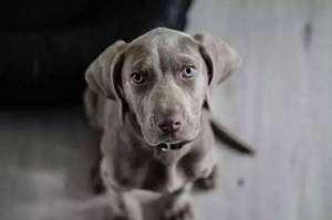 魏玛犬的品种怎么样?