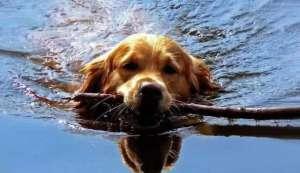 炎热夏季狗狗中暑怎么办?