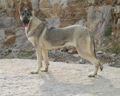 养宠知识:警犬品种主要有哪些?