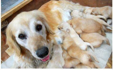 养宠知识:狗狗如何催乳?