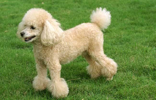 哪些狗狗比较粘人呢?
