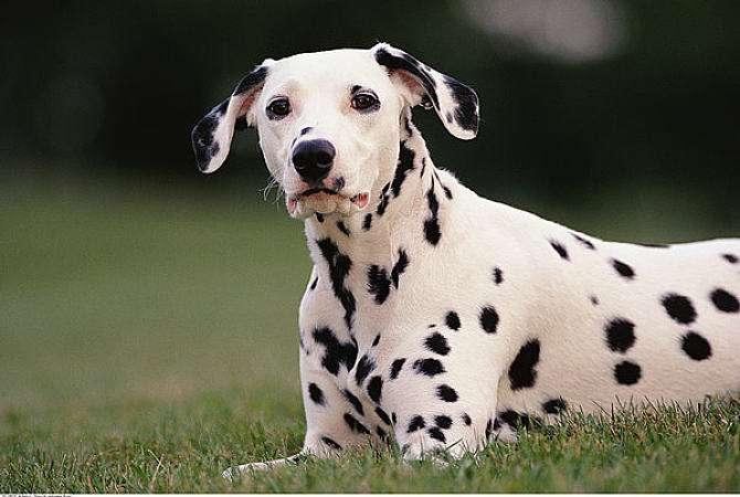 斑点狗为什么被禁养?