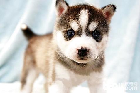 哈士奇幼犬喂多少狗粮