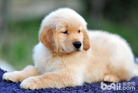幼犬睡觉抽搐怎么回事