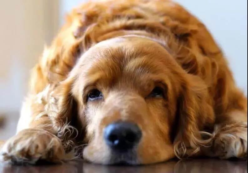 狗狗超重不一定是肥胖,还有7种原因?