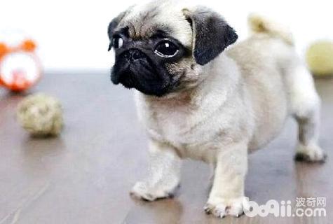 幼犬多大可以吃狗粮
