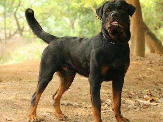 世界猛犬排行榜