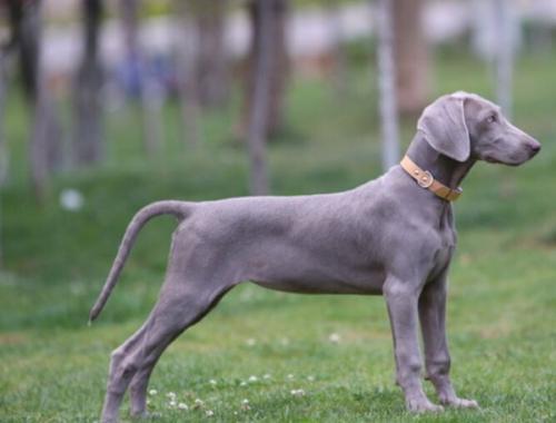 什么是枪猎犬?
