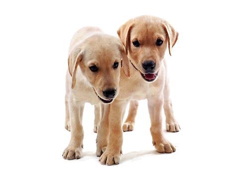 饲养幼犬的需要注意的事情都有哪些?