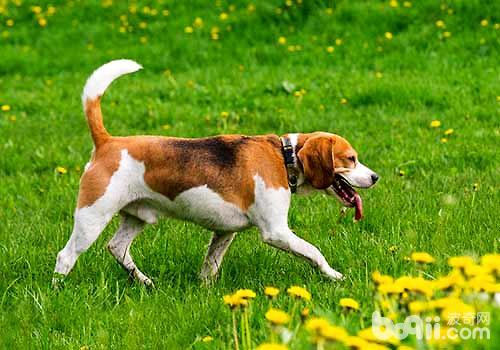 狗狗吃自己屎的原因,狗狗吃自己的屎怎么办