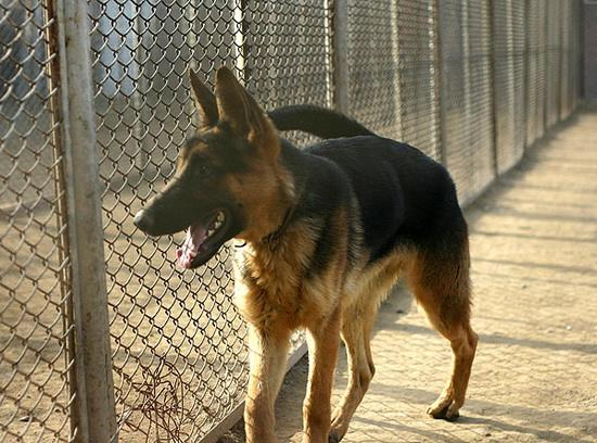 如何训练狼狗?