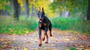 怎么训练杜宾犬游泳?