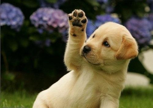 如何让你的小型犬不难产?