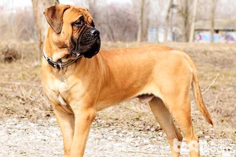 马士提夫獒犬厉害吗