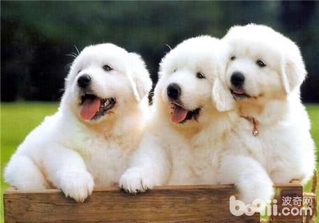 大白熊犬怎么养