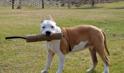 斯塔福犬好养吗